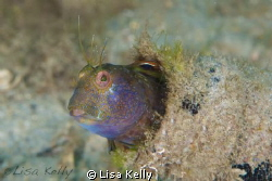 Blenny in a bottle at Blue Heron Bridge. by Lisa Kelly